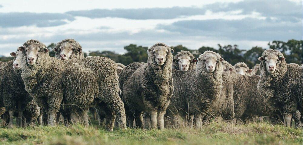 WM_feature_1560x750_sheep_1600x.jpg